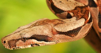 Boa Constrictor by marcodede on Flickr