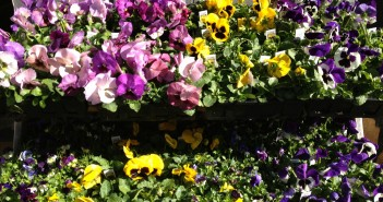Spring Flowers: Pansies for sale at Tarzian Hardware