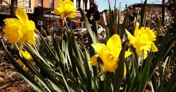 Daffodils on Flatbush Ave